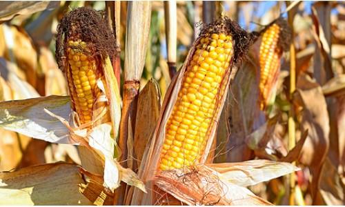 Насіння кукурудзи Гран 6