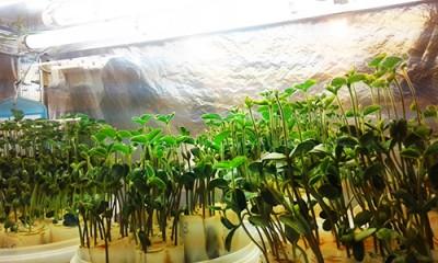 Селекція рослин стійких до гербіцидів
