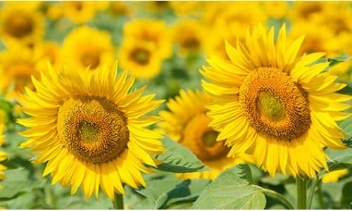 Насіння соняшнику Ауріс