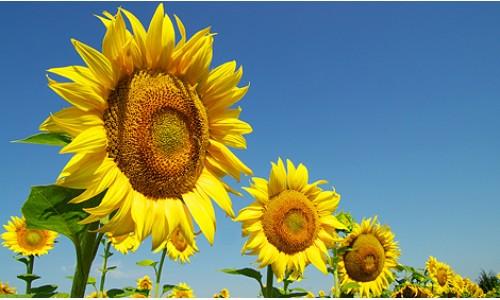 Насіння соняшнику Карлос 105