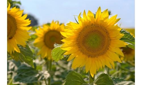 Насіння соняшнику Шенон - ВНІС