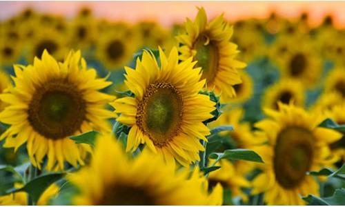 Насіння соняшнику Українське сонечко