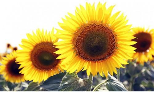 Насіння соняшнику Заграва