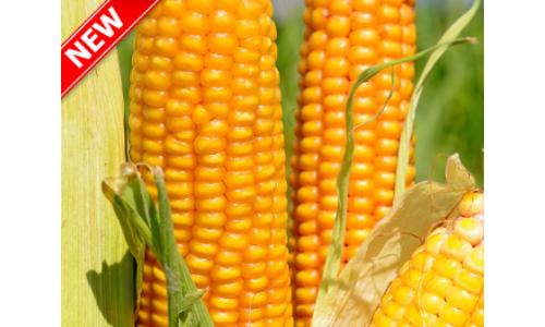 Насіння кукурудзи Тор